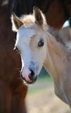 Portrait of a foal Stock Photos