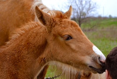 Portrait of a foal of mini-horse Royalty Free Stock Photo