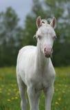 Portrait of a foal of mini-horse. Portrait of a cream foal of mini-horse Stock Photo