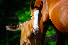 Portrait of foal near his mother Stock Photography