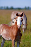 Portrait of a foal on a pasture. Royalty Free Stock Image