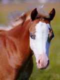 Portrait of a foal with a white muzzle and blue eyes. Stock Image