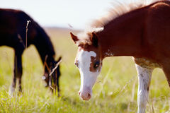Portrait of a foal with a white muzzle on a meadow. Stock Photography