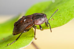 Portrait of a forest beetle. Studio shoot Royalty Free Stock Photography