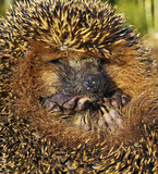Portrait of the forest hedgehog. Portrait of the forest hedgehog in warm summer time stock image