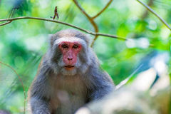 Portrait of a Formosan macaque royalty free stock images