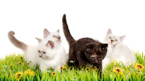 Portrait of four British Shorthair Kittens sitting, 8 weeks old, Royalty Free Stock Photos