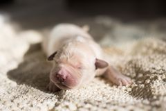 Portrait of Four days old golden retriever puppy is lying on the blanket. Adorable White Newborn pup is sleeping. Portrait of Four days old golden retriever stock images