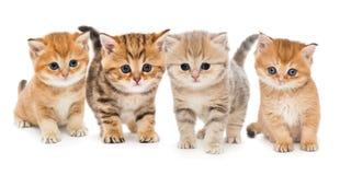 Portrait of four kittens. Portrait of four little British kittens on white background stock photo