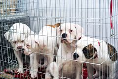 Free Portrait Four Of A Sad Dog Puppy American Bulldog In An Iron Cage Royalty Free Stock Images - 139759849