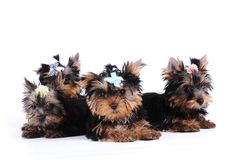 Portrait of four puppies Royalty Free Stock Photography
