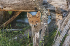 Portrait of fox cub Stock Photography