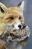Portrait of a fox. Fox keeps quail in its mouth (vulpes) Royalty Free Stock Photo
