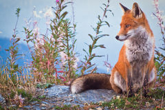 Portrait of a Fox: a friendly poser. I was in mountain alone with my telescope and she came to know me (and i took some photos Royalty Free Stock Image