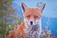 Portrait of a Fox: a friendly poser Stock Photos
