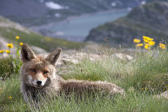 Portrait of a fox in a natural park Stock Image