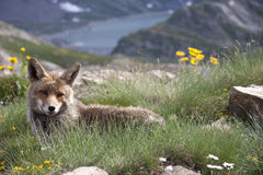 Portrait of a fox in a natural park. Fox in the Gran Paradiso park in the Alps Royalty Free Stock Images