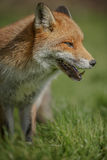 Portrait of a fox Royalty Free Stock Images