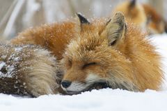 Portrait of fox during snowing at fox village in Fukushima royalty free stock photography