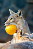 Portrait of a fox in a zoo  Vulpes corsac Royalty Free Stock Photography