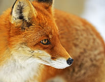 Portrait Foxes Stock Photography