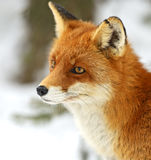 Portrait Foxes Royalty Free Stock Images