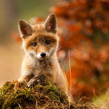 Portrait foxes. My first encounter with a fox Stock Image