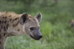 Portrait of free african spotted hyena. Portrait of free roaming african spotted hyena Royalty Free Stock Photo