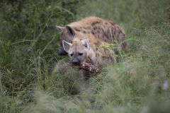 Portrait of free african spotted hyena. Portrait of free roaming african spotted hyena Stock Images