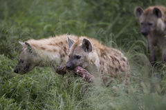 Portrait of free african spotted hyena. Portrait of free roaming african spotted hyena Royalty Free Stock Photos