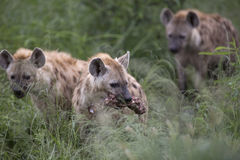 Portrait of free african spotted hyena. Portrait of free roaming african spotted hyena Stock Image