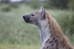 Portrait of free african spotted hyena. Portrait of free roaming african spotted hyena Royalty Free Stock Images