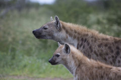 Portrait of free african spotted hyena. Portrait of free roaming african spotted hyena Royalty Free Stock Image