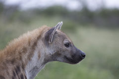 Portrait of free african spotted hyena. Portrait of free roaming african spotted hyena Stock Photos