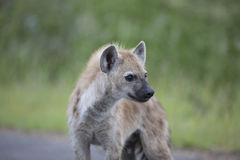 Portrait of free african spotted hyena. Portrait of free roaming african spotted hyena Royalty Free Stock Photography