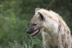 Portrait of free african spotted hyena. Portrait of free roaming african spotted hyena Stock Photography