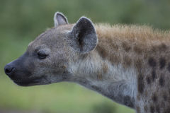 Portrait of free african spotted hyena Royalty Free Stock Images