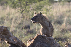 Portrait of free african spotted hyena. Portrait of wild free african spotted hyena Royalty Free Stock Image