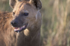Portrait of free african spotted hyena. Portrait of wild free african spotted hyena Royalty Free Stock Images