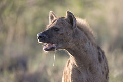 Portrait of free african spotted hyena. Portrait of wild free african spotted hyena Stock Images