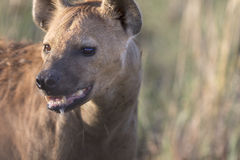 Portrait of free african spotted hyena. Portrait of wild free african spotted hyena Royalty Free Stock Photography