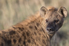Portrait of free african spotted hyena. Portrait of wild free african spotted hyena Stock Photos