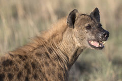 Portrait of free african spotted hyena. Portrait of wild free african spotted hyena Stock Photo