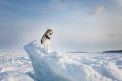 Portrait Free et du chien enroué sage se reposant sur la neige sur la banquise et examinant la distance image libre de droits