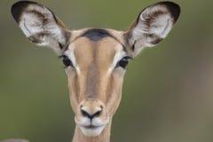 Portrait of free female impala antelope. Portrait of free roaming female impala antelope stock photos