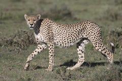 Portrait of free roaming cheetah. Cat Stock Photography
