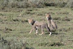 Portrait of free roaming cheetah cubs. Portrait of free roaming cheetah cat Royalty Free Stock Images