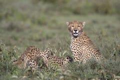 Portrait of free roaming cheetah. Cat Stock Image