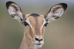 Portrait of free female impala antelope. Portrait of free roaming female impala antelope royalty free stock image