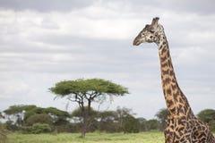Portrait of free wild giraffe Stock Photos